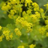 Alchemilka žltozelená, poklad z prírody pre ženy