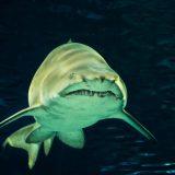 Zdravotné benefity žraločej chrupavky