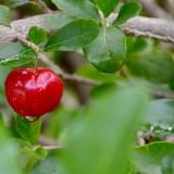 Acerola – barbadoská čerešňa s unikátnym obsahom Céčka