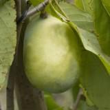 Asimina – indiánsky banán nielen na liečbu rakoviny