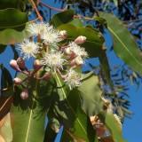 Eukalyptus kráľovský