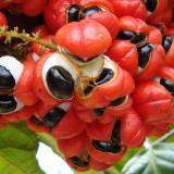 Guarana – prírodný životabudič z Amazónie