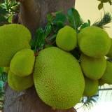 Jackfruit – chlebovník, ktorý ste možno ešte neochutnali..