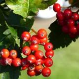 Jarabina – červené bobule, vyliečia obličky, zápaly i infekcie
