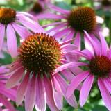 Liečivé účinky byliniek