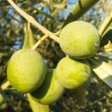 Oliva – biblické ovocie z Grécka chráni vaše srdce i cievy